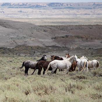 Mustang War Horse
